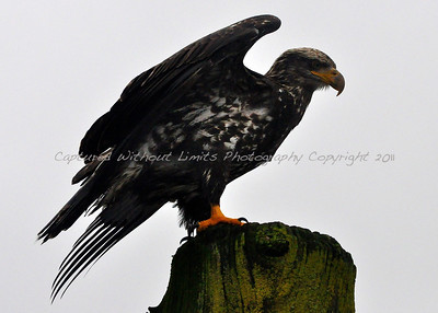Juvenile Bald Eagle - Vancouver Island, B.C.