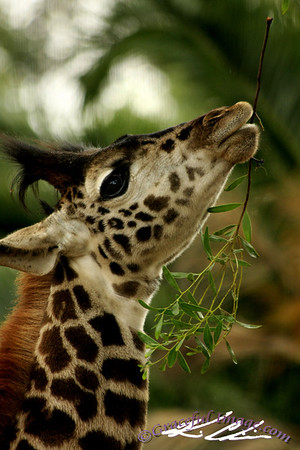 Giraffe enjoying his meal
