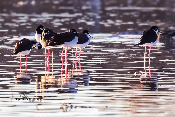Warm Sunlight Black-necked Stilt, Gilbert AZ (19 January 2015)