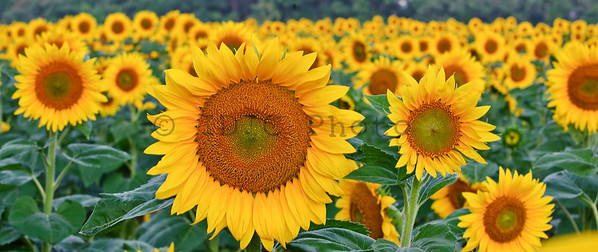 Sunflower Panorama-1