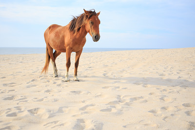 Assateague Pony