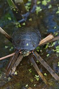 Midland Painted Turtle (Chrysemys picta marginata)