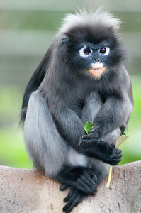 DL03244Dusky Leaf Monkey