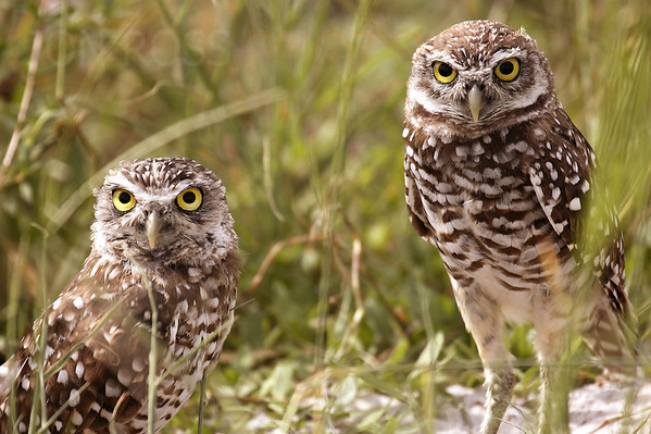 Ground Owls, FXE Airport 2006 | Ft. Lauderdale, FL Canon EOS 5D | Canon EF 100-400mm f/4.5-5.6 L IS USM1/250s | f/5.6 @ 400mm | ISO 100
