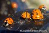 4_ladybirds_AR