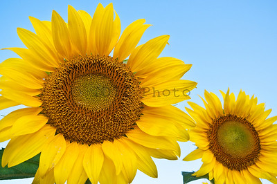 Sunflowers at McKee-Beshers WMA Maryland -20