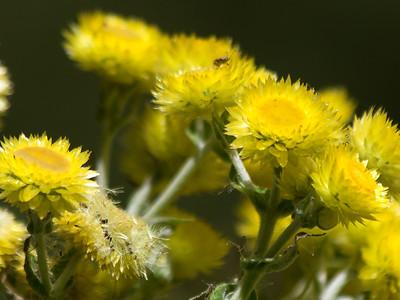 Madeiran flowers, Vereda dos Balcões