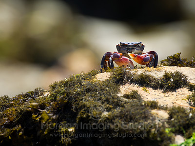 Who's Watching Who? Striped Shore Crab, Estero Bluffs State Park, California.