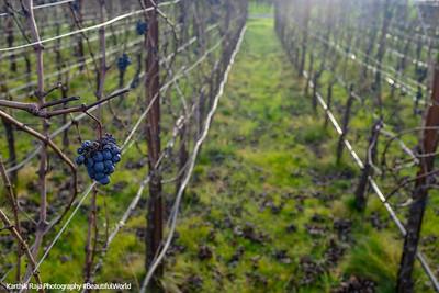 Vineyards, Napa Valley, California