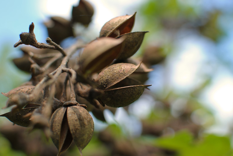 Tree buds, with a blurred background.