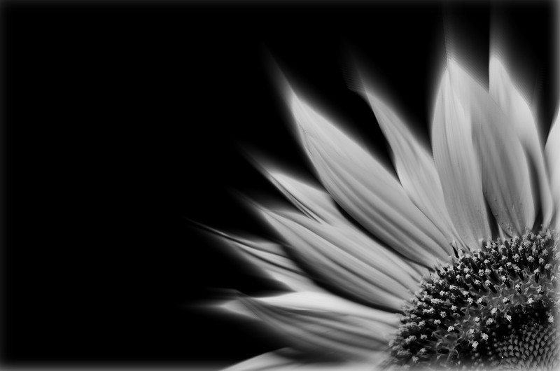 Sunflower black and white B&W