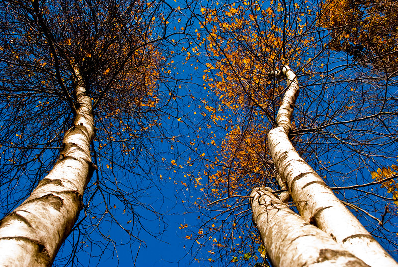 Looking up at birch trees in autumn with a blue sky.  CT State Parks.