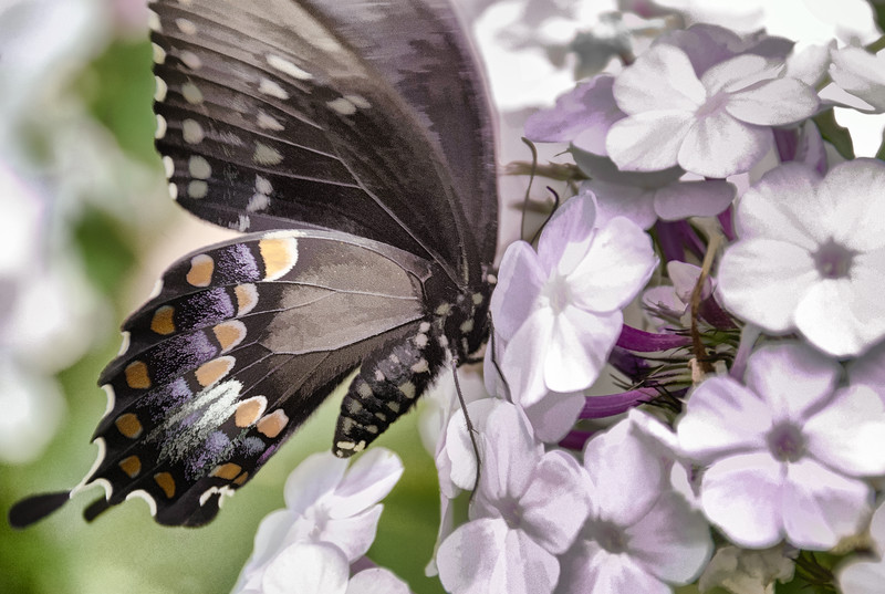 Butterfly on Flower with painterly effect