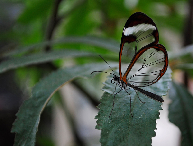 Glass wing butterfly sitting on a leaf.