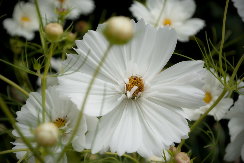 White flower with some blurred buds in the foreground.