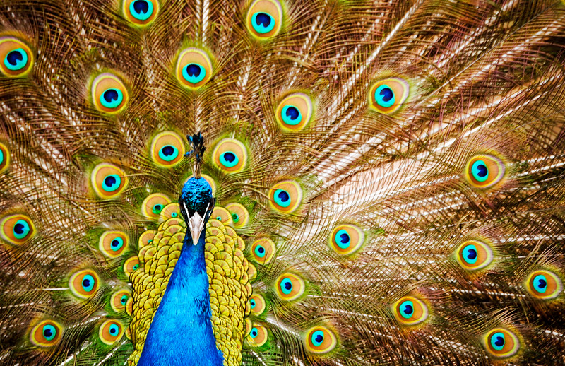 Peacock with his feathers opened.