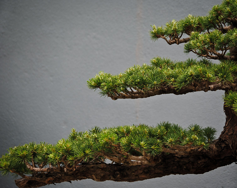 Branches of a bonsai plant that looks like a mini evergreen tree.  Brooklyn Botanical Gardens, NY.