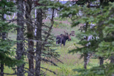 Moose at Cape Breton