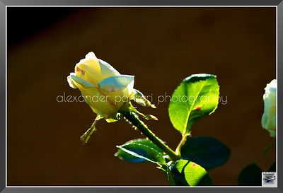 2012May16_Home_Roses_006
