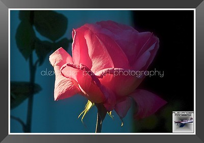 2012May16_Home_Roses_005