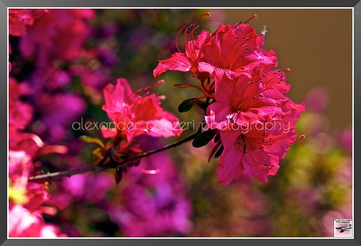2012May16_Home_Roses_007
