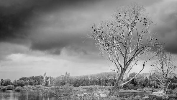 Aalscholvers - Cormorants
