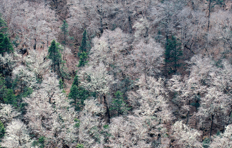 Frosty Forest, Khumbu Valley - Nepal<br /> <br /> In the spring, deciduous trees along the Imja Khola have yet to produce a canopy of green foliage. Instead, the gossamer moss that hangs from almost every branch, collects the morning dew and frost and produces a fleeting albino forest.