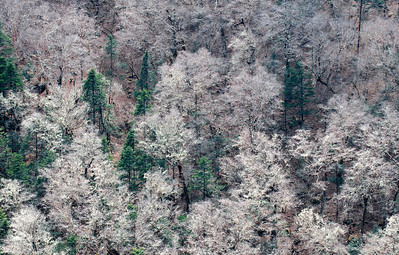 Frosty Forest, Khumbu Valley - Nepal  In the spring, deciduous trees along the Imja Khola have yet to produce a canopy of green foliage. Instead, the gossamer moss that hangs from almost every branch, collects the morning dew and frost and produces a fleeting albino forest.