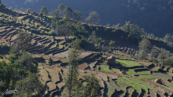 Rice fields near Pokhara
