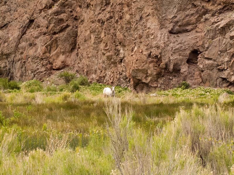Wild Mustang outside Caliente, Nevada