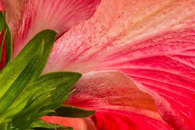 Hibiscus under-1