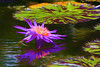 Glowing waterlily 900_2684
