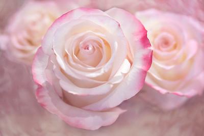 Magnolia rose 600