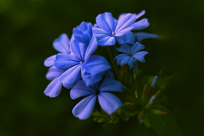 May plumbago website