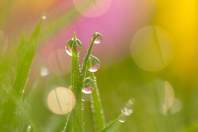 Dew Drops-1