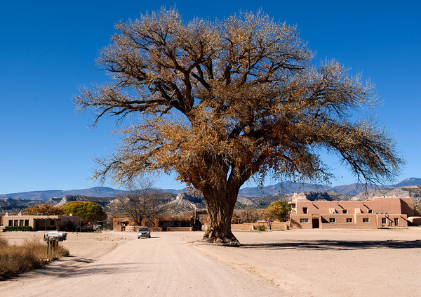 A huge cottonwood tree in the San Ildefonso pueblo community, New Mexico.