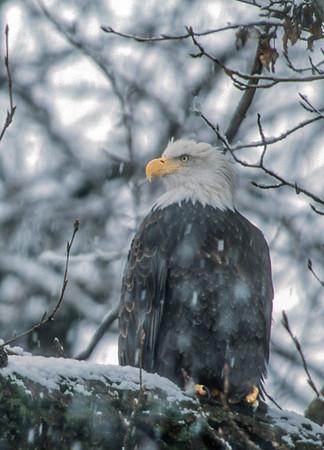 Bald Eagle Along the Chilkat River #1