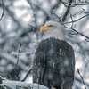 Bald Eagle Along the Chilkat River #1
