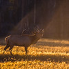 Bugling Bull Elk Yellowstone National Park