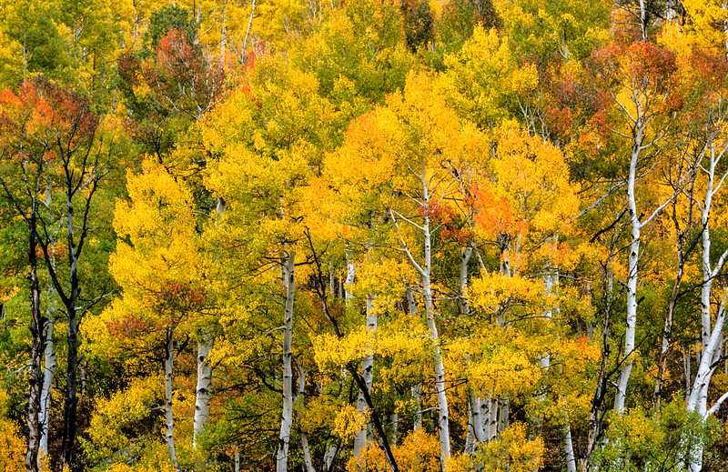 Aspens Along Last Dollar Road