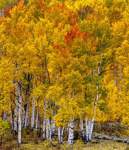 Red Topped Aspens