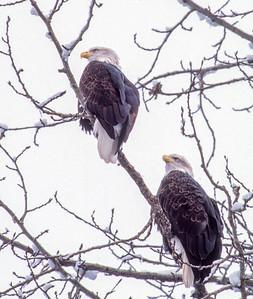 Bald Eagles Along the Chilkat River #2