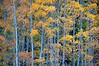 Fall color in the Sangre de Christos Mountains.