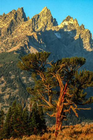 The Patiarch Tree Grand Teton National Park Wyoming