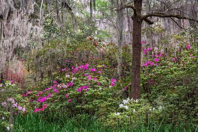 Magnolia Plantation Gardens I