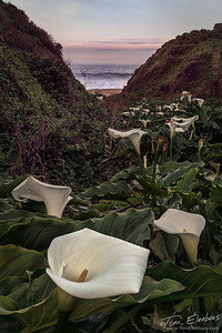 Calla Lillies, Garrapata Beach, Big Sur