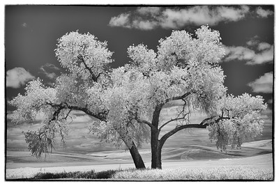 Majestic Cottonwood (Infrared)