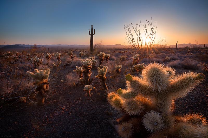 Saguaro Sunset - Kofa, Arizona