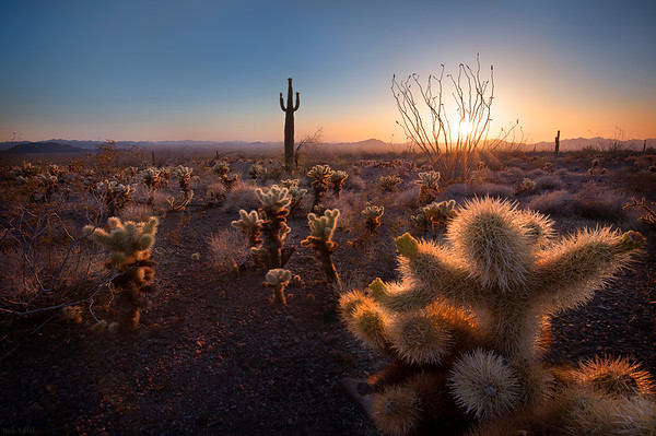 Saguaro Sunset - Kofa, Arizona