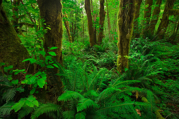 Fern Gully - Tillamook State Forest, Oregon